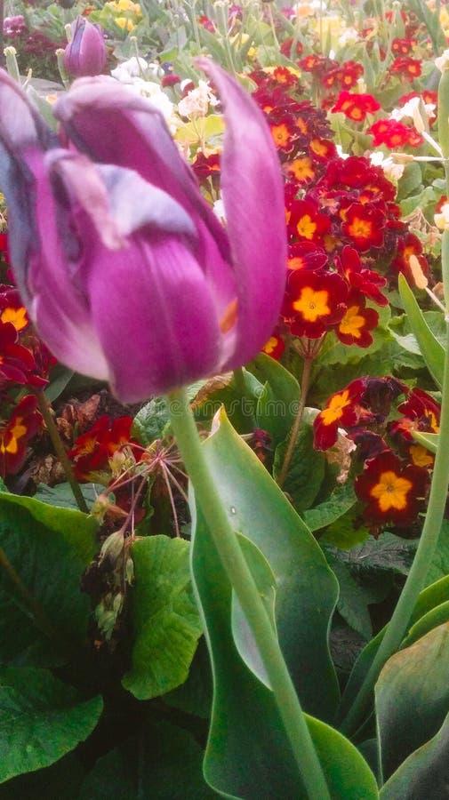 Fiori graziosi del tulipano immagini stock libere da diritti