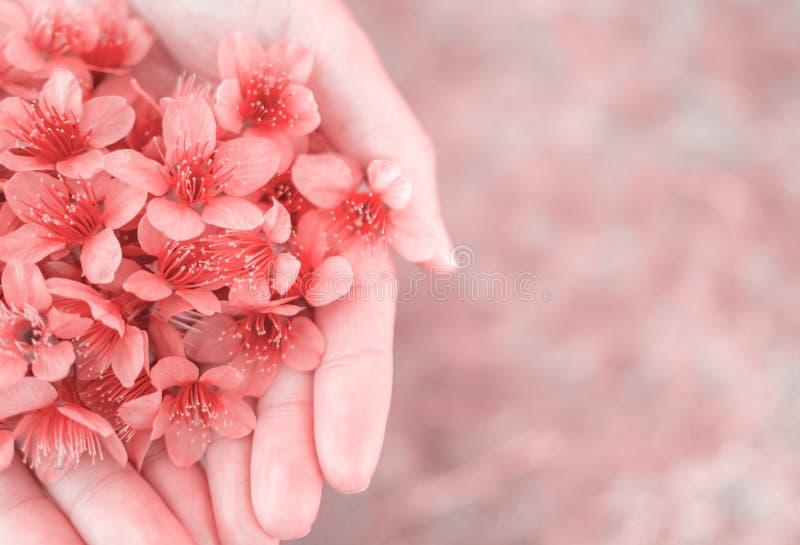 Fiori himalayani selvaggi della ciliegia sulle mani della donna fotografia stock libera da diritti