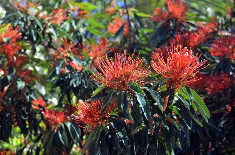Fiori indigeni australiani di Waratah dell'albero fotografie stock libere da diritti