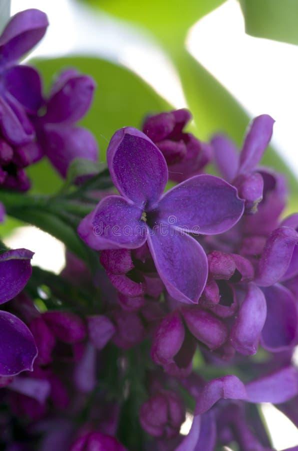 Fiori lilla fotografie stock
