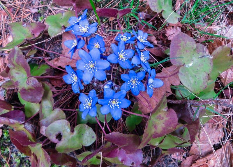Fiori lilla Hepatica Fondo della primavera dai fiori I primi fiori della sorgente immagini stock libere da diritti