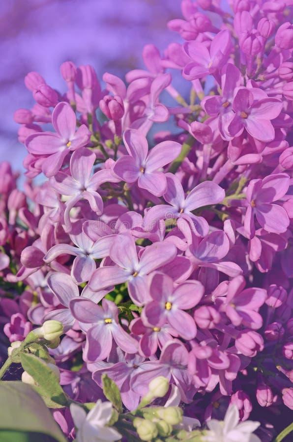 Fiori lilla viola fotografia stock libera da diritti