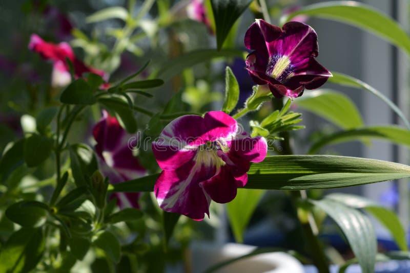 Fiori luminosi della petunia nell'inverdimento del balcone Giorno di estate pieno di sole immagini stock