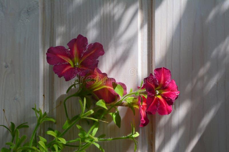 Fiori luminosi della petunia sui precedenti della parete di legno Inverdimento domestico fotografia stock