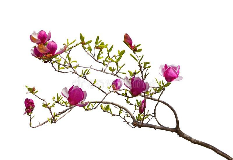 Fiori magenta della magnolia immagine stock
