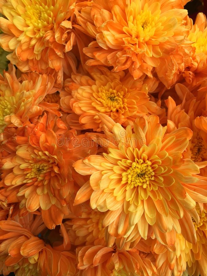 Fiori malesi del crisantemo immagine stock libera da diritti