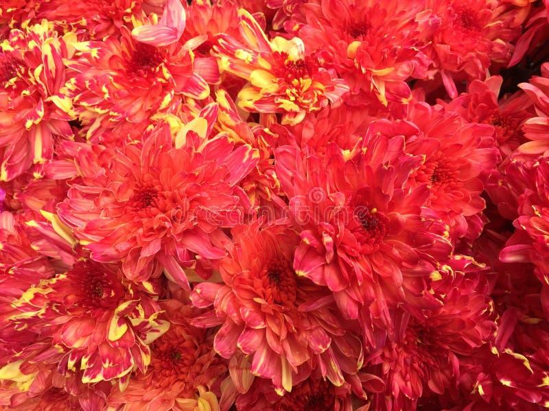 Fiori malesi del crisantemo fotografia stock