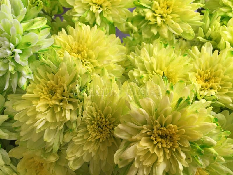 Fiori malesi del crisantemo immagini stock