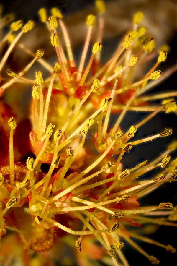 Fiori maschii dell'albero di acero rosso, acer rubrum fotografia stock libera da diritti