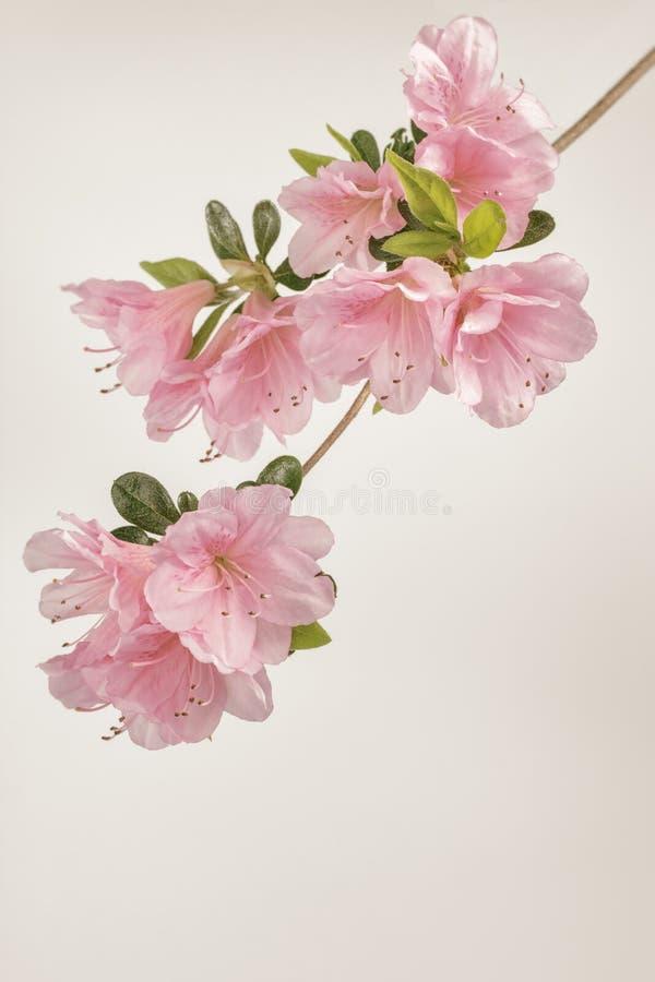 Fiori molli dell'azalea di rosa pastello fotografie stock libere da diritti