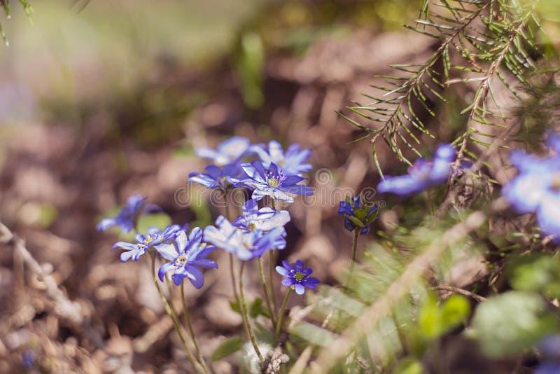 Fiori molto bei in un ambiente di legno Hepatica fotografia stock