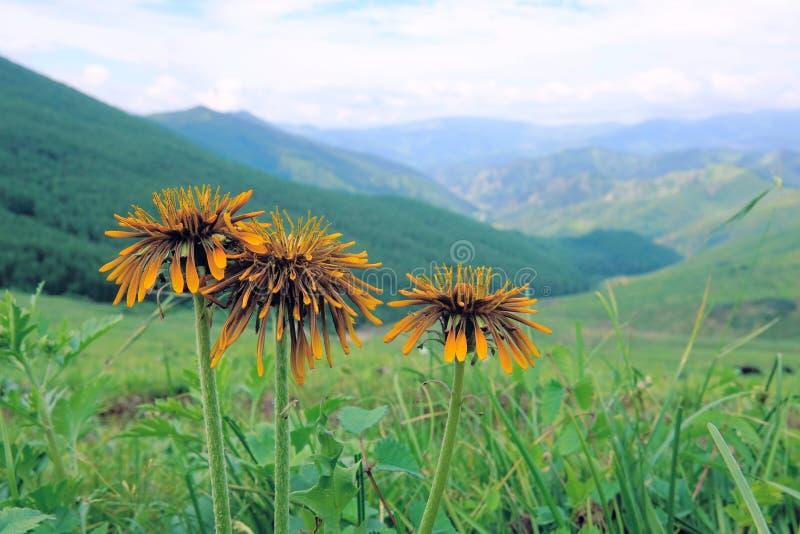 Fiori in montagne immagini stock libere da diritti