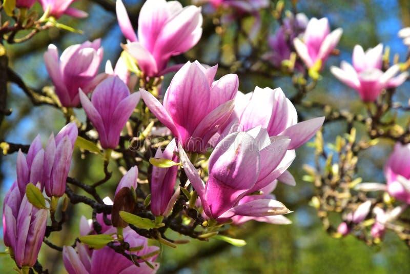 Fiori naturali primaverili della Magnolia fotografia stock