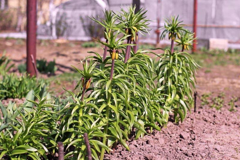 Fiori nel giardino grouse fotografia stock libera da diritti