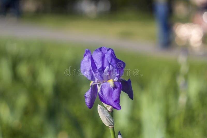 Fiori nel giardino Sorgente fondo blu di verde del fiore dell'iride del fiore Erba immagini stock
