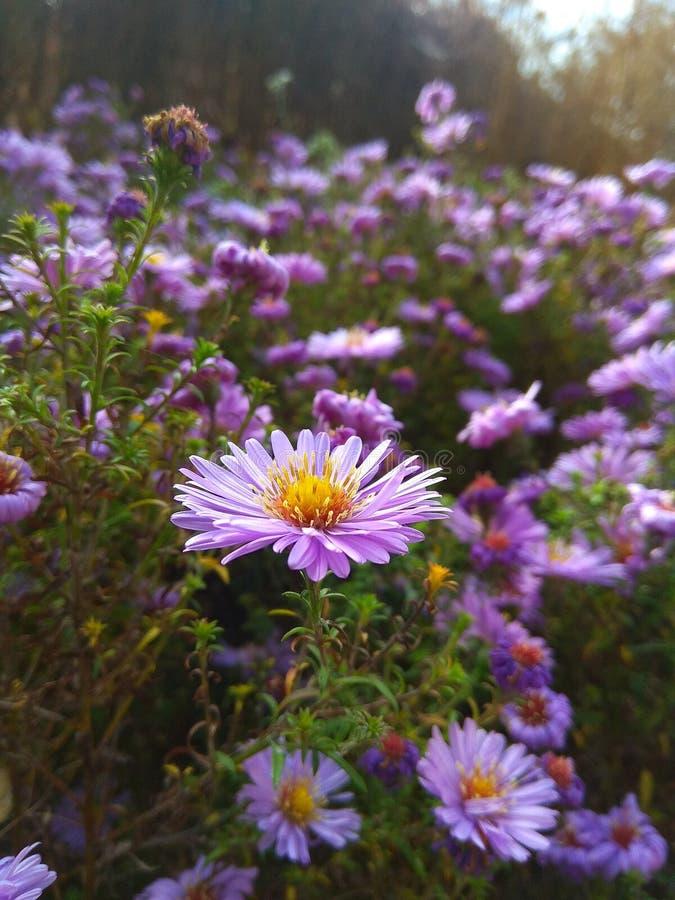 Fiori nella bella viola rosa del giardino fotografia stock