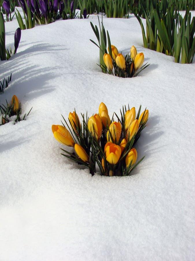 Fiori nella neve, Vancouver fotografia stock
