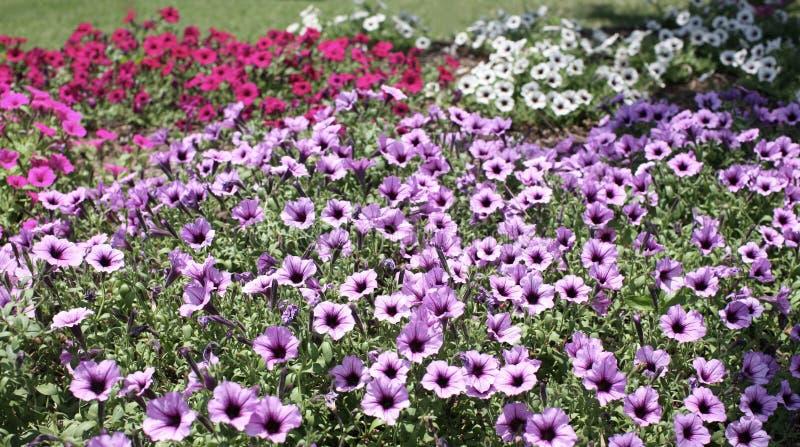 Fiori in piena fioritura immagine stock