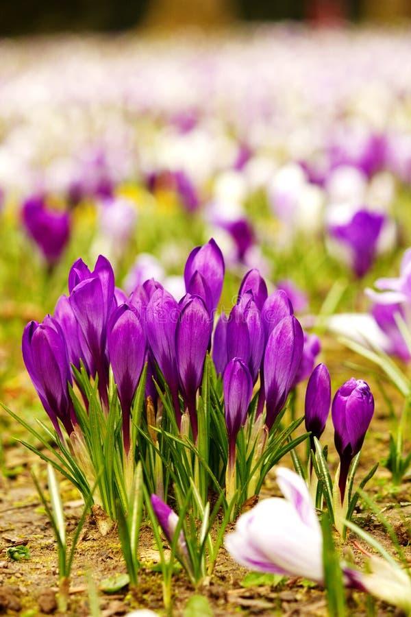 Fiori porpora davanti a molti altri fiori di tutti i colori fotografia stock libera da diritti