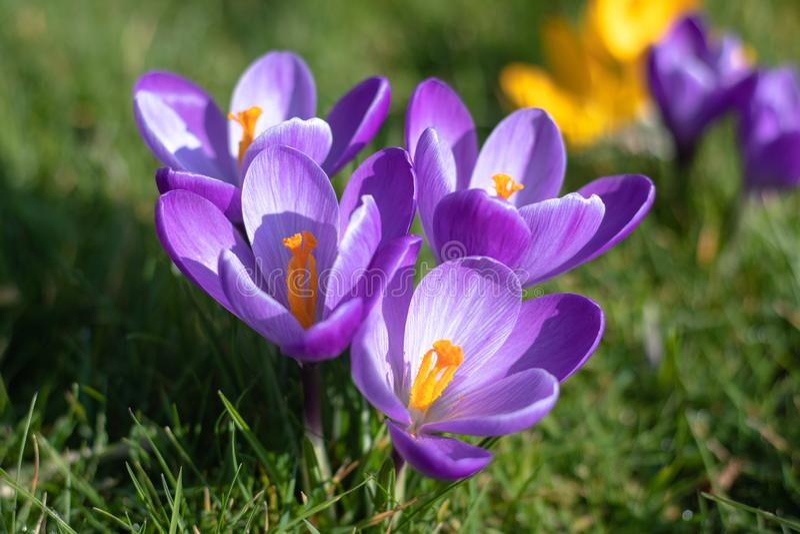 Fiori porpora del croco in fioritura, orizzontale, isolata, con lo spazio della copia immagini stock