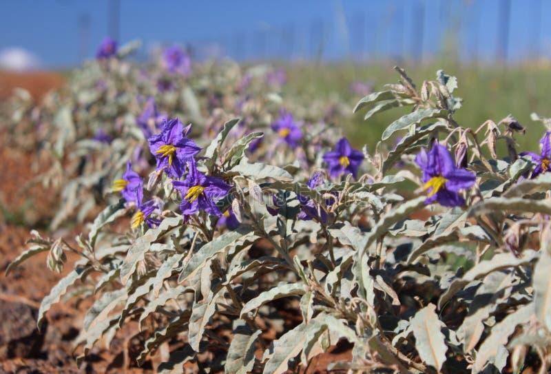 Fiori porpora del elaeagnifolium del solano, la belladonna di silverleaf fotografia stock