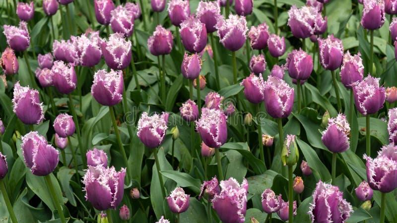 Fiori porpora del tulipano di fringrd nel giardino di primavera, parco fotografie stock libere da diritti