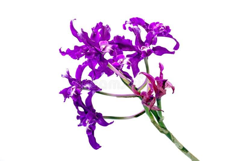 Fiori porpora dell'orchidea sul gambo verde immagini stock