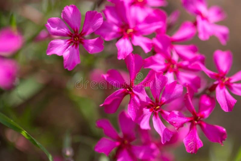 Fiori porpora di un flox styloid in primavera Casa di campagna siberiana immagini stock