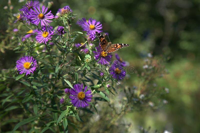 Fiori porpora e gialli con una farfalla fotografia stock libera da diritti