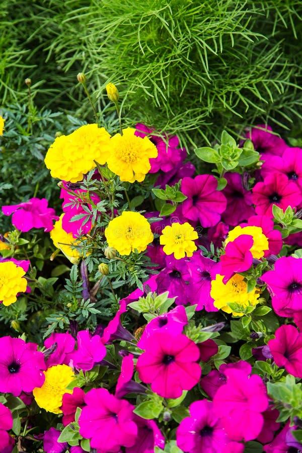 Fiori porpora e gialli in giardino verde immagine stock