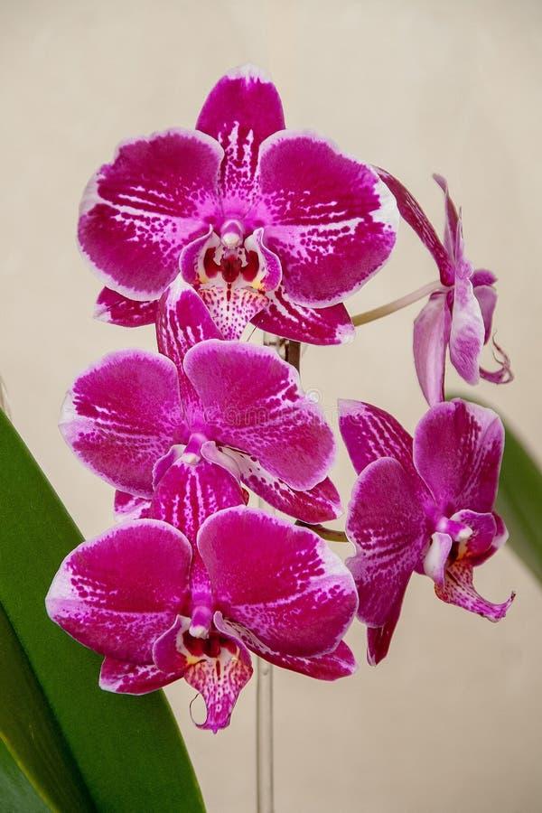 Fiori porpora eccellenti dell'orchidea Casa immagine stock libera da diritti