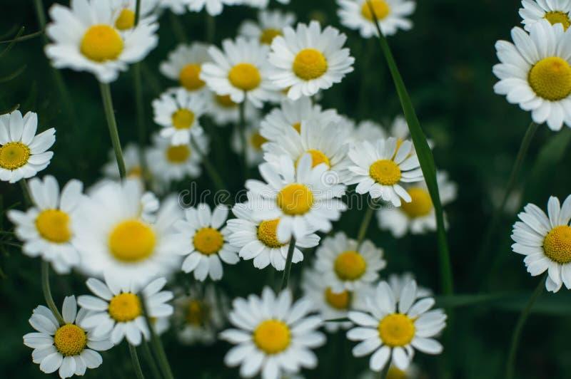 Fiori porpora, erba della camomilla, bella fotografie stock libere da diritti
