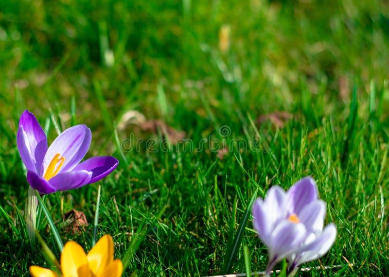 Fiori porpora fuori centro del croco in fioritura fotografia stock libera da diritti