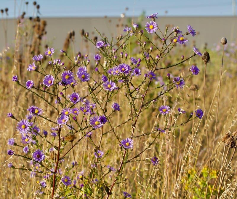 Fiori porpora luminosi ed erba dorata sulla prateria di autunno immagini stock
