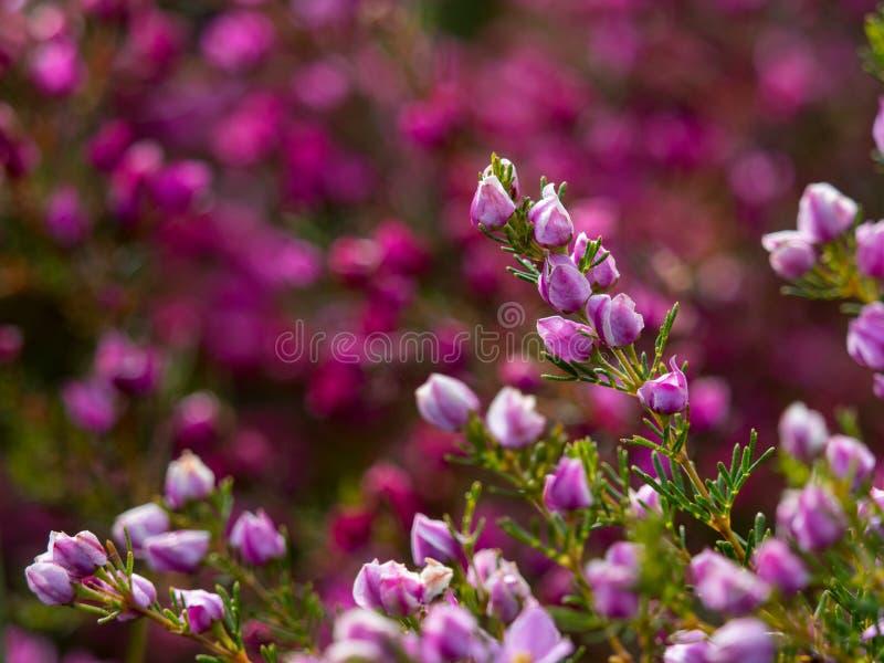 Fiori porpora selvaggi del cespuglio di entroterra australiana piccoli con fondo vago fotografie stock libere da diritti