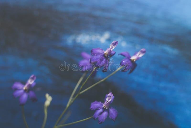 Fiori porpora selvaggi macro su fondo blu scuro fotografia stock