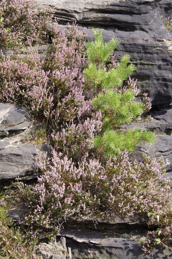 Fiori porpora sulle rocce scure immagine stock