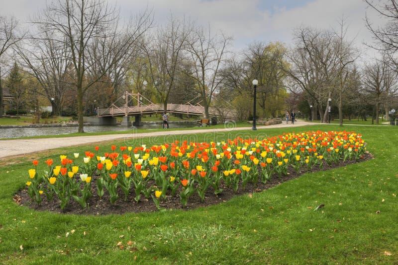 Fiori primaverili nel Victoria Park, Kitchener, Canada fotografia stock libera da diritti