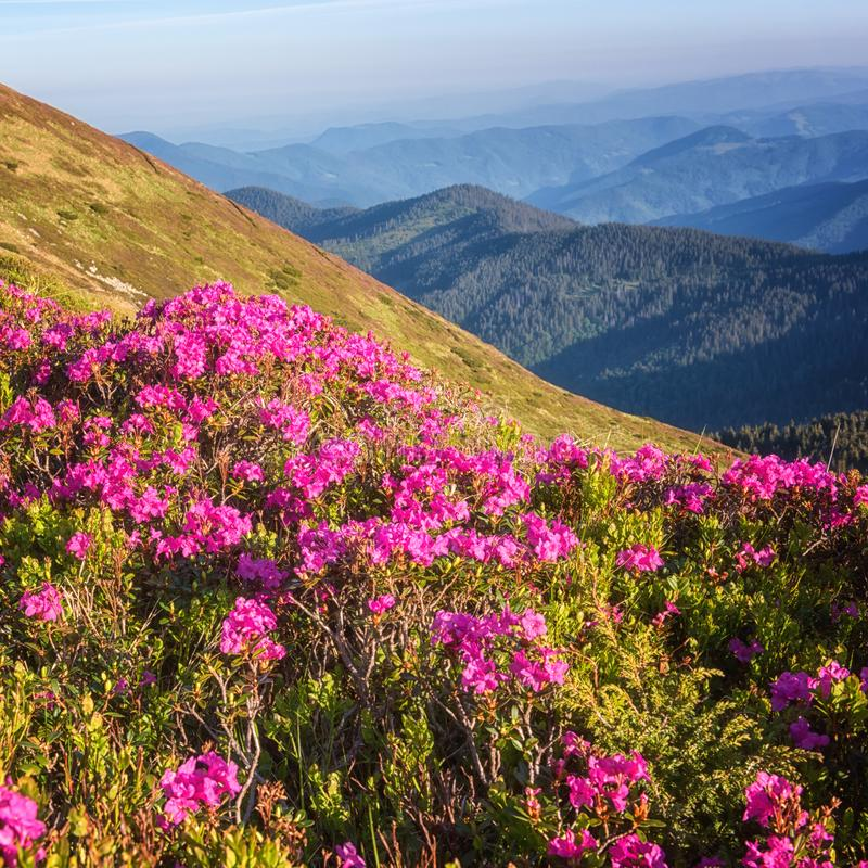 Fiori rododendroni rosa fioriscono sulla pendenza alta della montagna Sfondo di viaggio per esterni fotografia stock