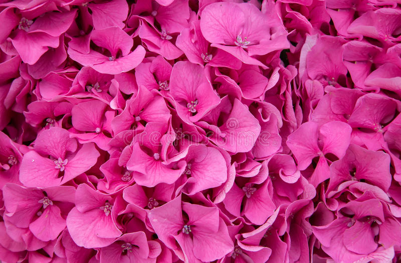 Fiori rosa fotografie stock