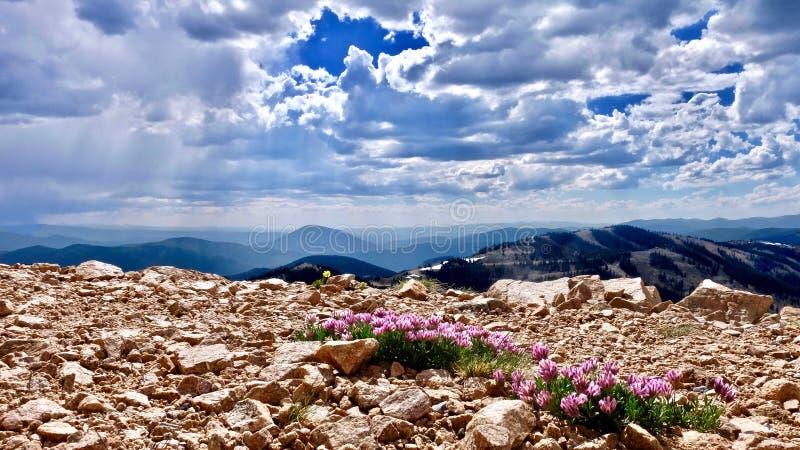 Fiori rosa alpini del trifoglio sulle montagne Alpinum del trifoglio o trifoglio della montagna al passaggio del monarca vicino a immagine stock libera da diritti