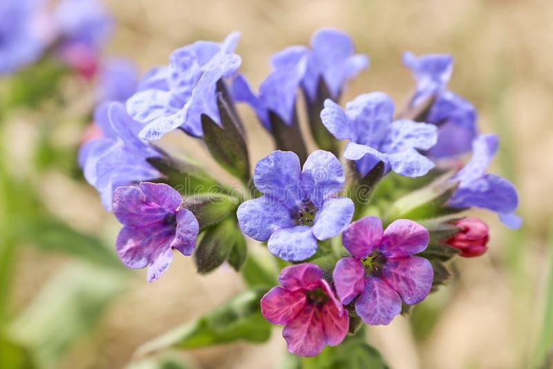 fiori Rosa-blu della molla della foresta di Pulmonaria del lungwort in primavera i primi fiori della molla immagini stock libere da diritti