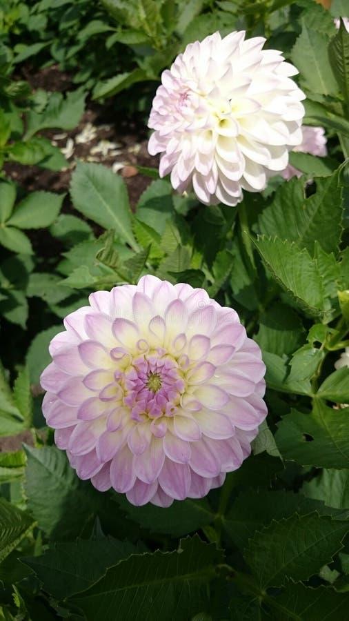 Fiori rosa-chiaro immagini stock