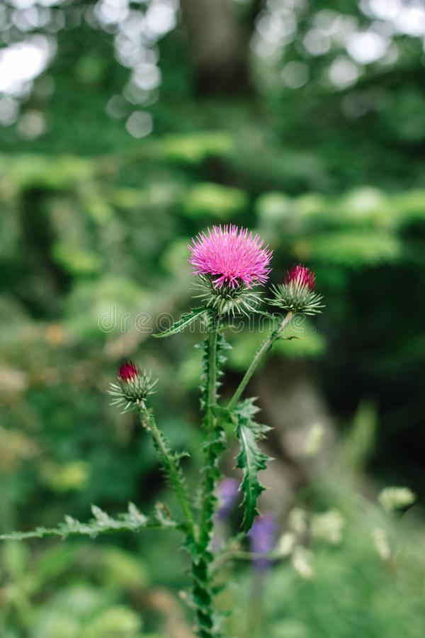 Fiori rosa del cardo selvatico di latte nel rimedio di erbe di silybum marianum selvaggio del natur immagine stock libera da diritti