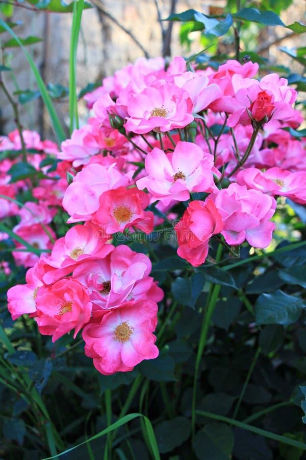 Fiori rosa del cespuglio di rose nel giardino fotografia stock libera da diritti