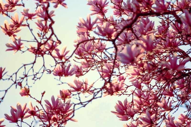 Fiori rosa del fiore della magnolia di estate fotografia stock