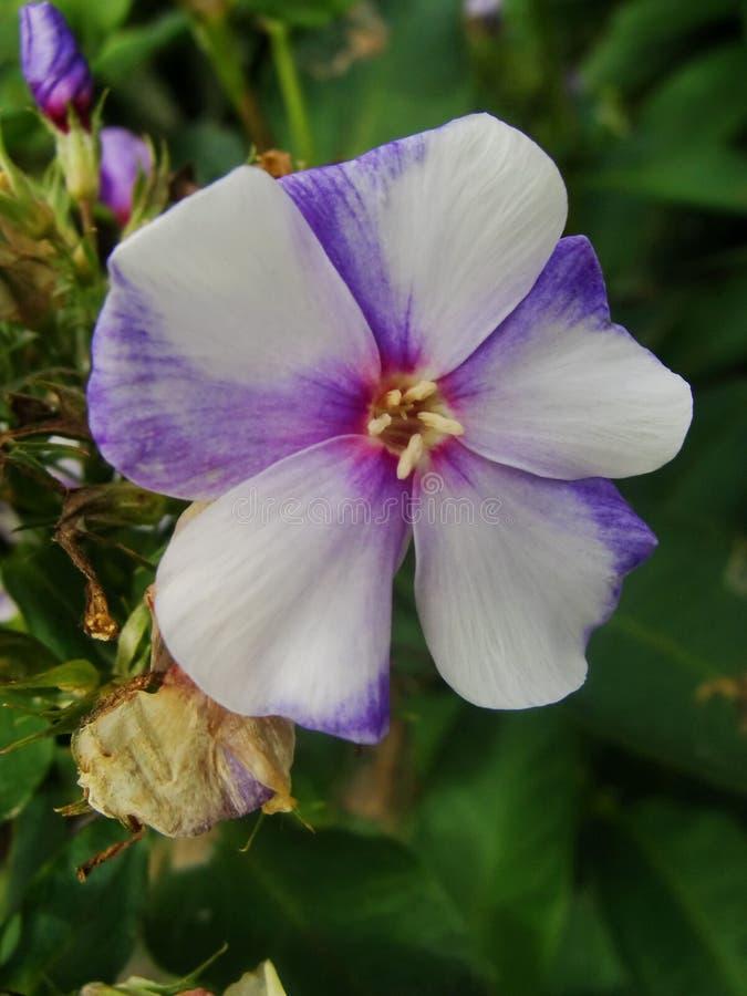 Fiori rosa del flox nel giardino Ciò è fiori del flox È tema delle stagioni fotografie stock libere da diritti