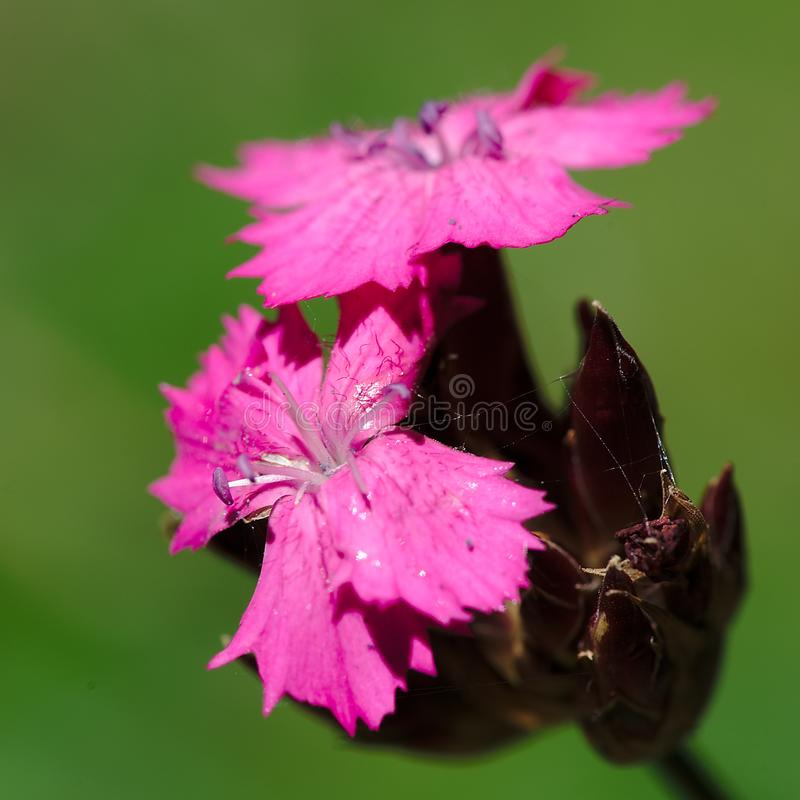 Fiori rosa del garofano del Carthusians fotografia stock