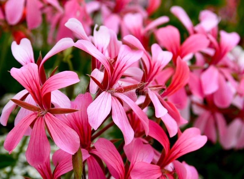 Fiori rosa del geranio in una fine del giardino di estate su Fiori del giardino Pelargonium di fioritura fotografia stock