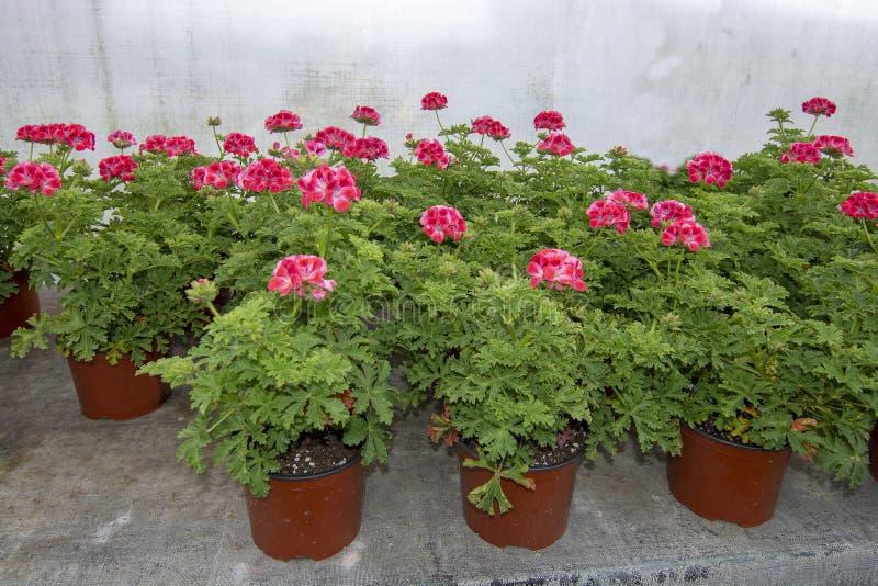 Fiori rosa del geranio in vasi immagine stock libera da diritti